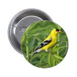 Botón americano del Goldfinch