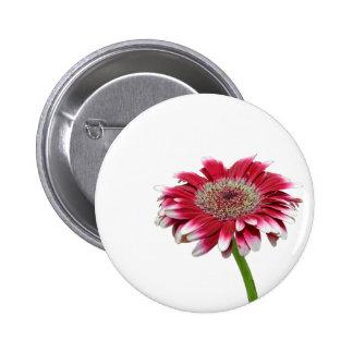 botones rosados del pinback de la margarita pin
