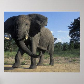 Botswana, Chobe National Park, Aggressive Bull Poster
