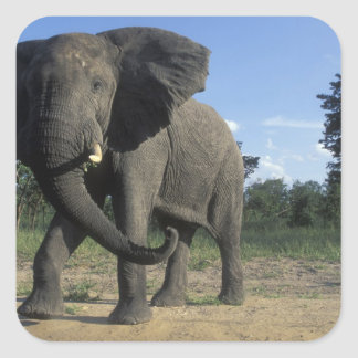 Botswana, Chobe National Park, Aggressive Bull Square Sticker