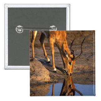 Botswana Chobe National Park Bull Impala Pinback Button