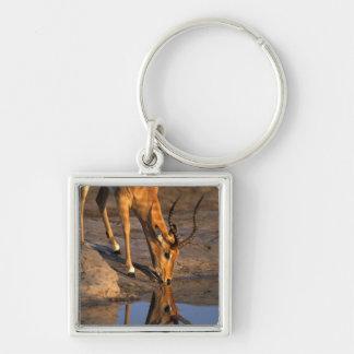 Botswana, Chobe National Park, Bull Impala Keychain