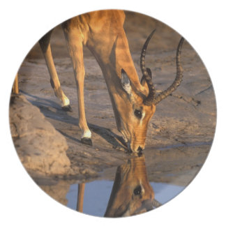 Botswana, Chobe National Park, Bull Impala Plate