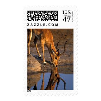 Botswana, Chobe National Park, Bull Impala Postage