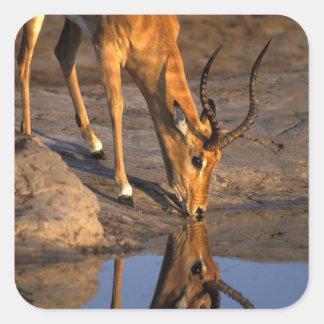 Botswana, Chobe National Park, Bull Impala Square Sticker