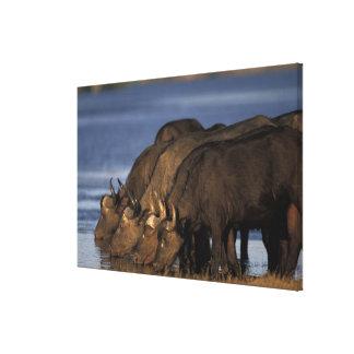 Botswana, Chobe National Park, Cape Buffalo Canvas Print