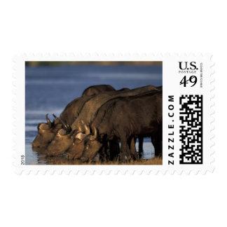 Botswana, Chobe National Park, Cape Buffalo Postage