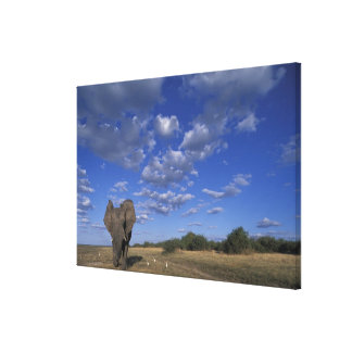 Botswana, Chobe National Park, Charging Elephant Gallery Wrapped Canvas
