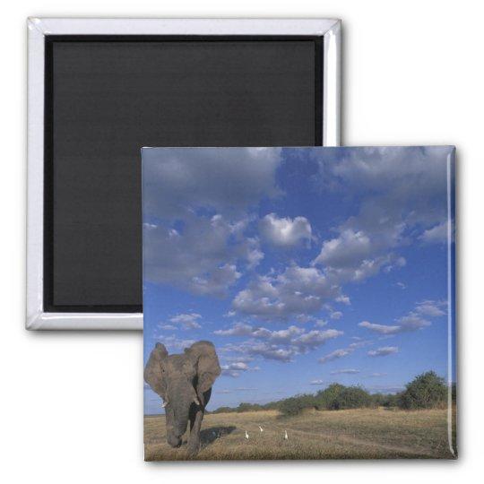 Botswana, Chobe National Park, Charging Elephant Magnet