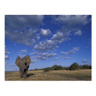 Botswana, Chobe National Park, Charging Elephant Postcard