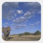 Botswana, Chobe National Park, Charging Elephant Square Sticker