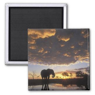 Botswana, Chobe National Park, Elephant 2 Inch Square Magnet