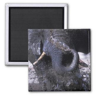 Botswana, Chobe National Park, Elephant 2 Magnet