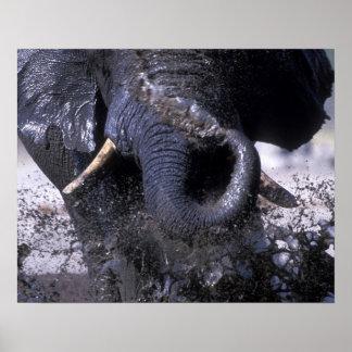 Botswana, Chobe National Park, Elephant 2 Poster