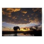 Botswana, Chobe National Park, Elephant Cards