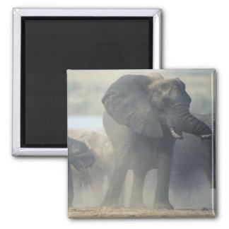 Botswana, Chobe National Park, Elephant herd 2 2 Inch Square Magnet