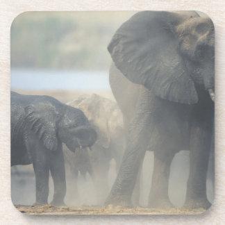 Botswana, Chobe National Park, Elephant herd 2 Coaster