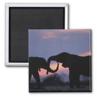 Botswana, Chobe National Park, Elephants 2 Inch Square Magnet