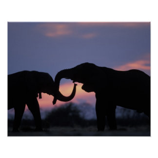 Botswana, Chobe National Park, Elephants Poster