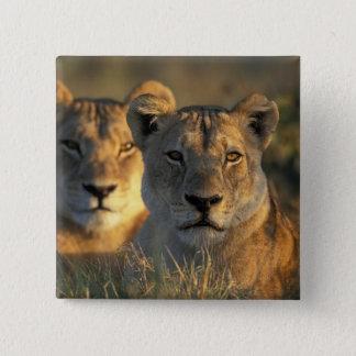 Botswana, Chobe National Park, Lionesses Button