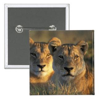 Botswana Chobe National Park Lionesses Button