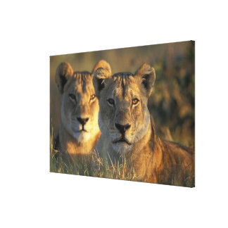 Botswana, Chobe National Park, Lionesses Gallery Wrap Canvas
