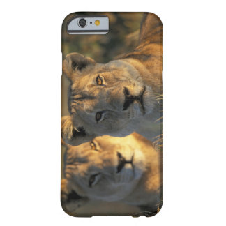 Botswana, Chobe National Park, Lionesses Barely There iPhone 6 Case