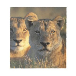 Botswana, Chobe National Park, Lionesses Notepad