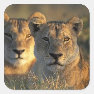 Botswana, Chobe National Park, Lionesses Square Sticker