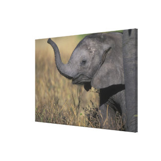 Botswana, Chobe National Park, Young Elephant Gallery Wrapped Canvas