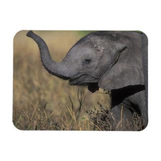 Botswana, Chobe National Park, Young Elephant Magnet