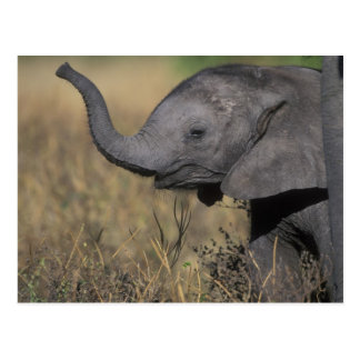 Botswana, Chobe National Park, Young Elephant Postcard