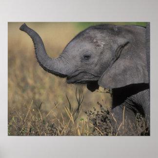 Botswana, Chobe National Park, Young Elephant Poster