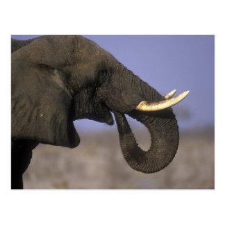 Botswana, Moremi Game Reserve, Bull Elephant Postcard