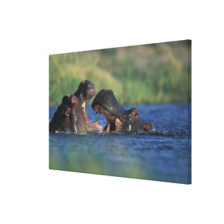 Botswana, Moremi Game Reserve, Hippopotami Canvas Print