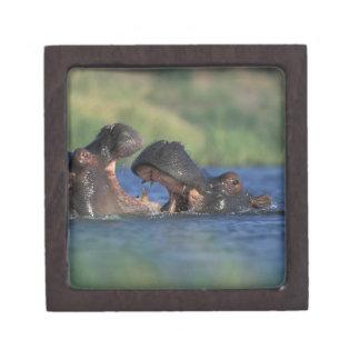 Botswana, Moremi Game Reserve, Hippopotami Jewelry Box