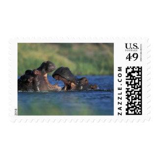 Botswana, Moremi Game Reserve, Hippopotami Postage