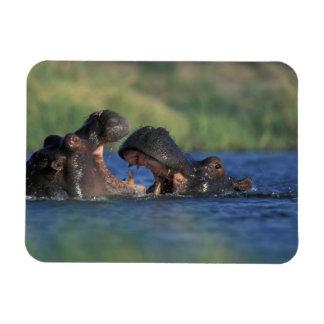 Botswana, Moremi Game Reserve, Hippopotami Rectangular Photo Magnet