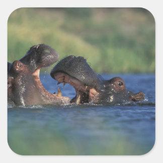 Botswana, Moremi Game Reserve, Hippopotami Square Sticker