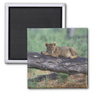 Botswana, Moremi Game Reserve, Lion cub 2 Inch Square Magnet
