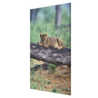 Botswana, Moremi Game Reserve, Lion cub Stretched Canvas Prints