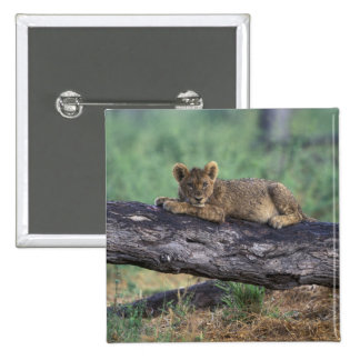 Botswana, Moremi Game Reserve, Lion cub Pin