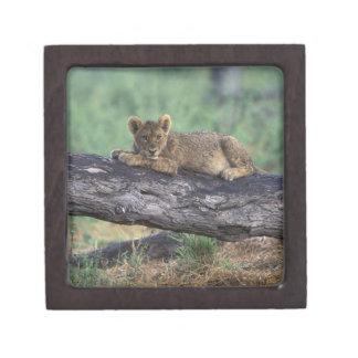 Botswana, Moremi Game Reserve, Lion cub Premium Gift Box