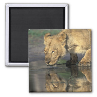 Botswana, Moremi Game Reserve, Lioness (Panthera 2 Inch Square Magnet