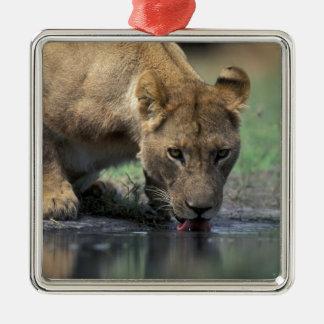 Botswana, Moremi Game Reserve, Lioness (Panthera 2 Metal Ornament