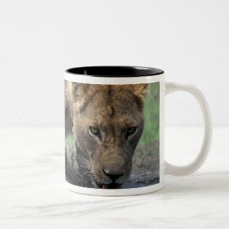 Botswana, Moremi Game Reserve, Lioness (Panthera 2 Coffee Mugs
