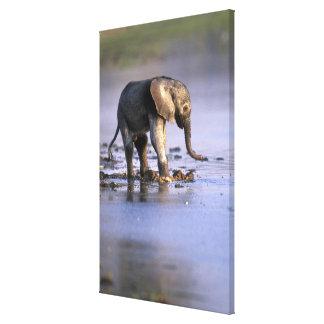 Botswana, Moremi Game Reserve, Young Elephant Canvas Print