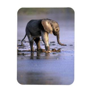 Botswana, Moremi Game Reserve, Young Elephant Magnet
