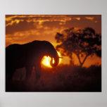 Botswana, parque nacional de Chobe, elefante de Bu Poster