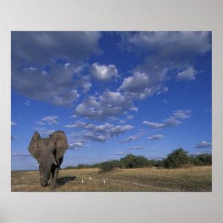Botswana, parque nacional de Chobe, elefante de ca Póster